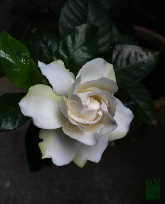 A gardenia from my patio garden.