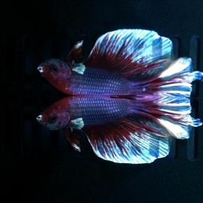 Kushiel's Fish